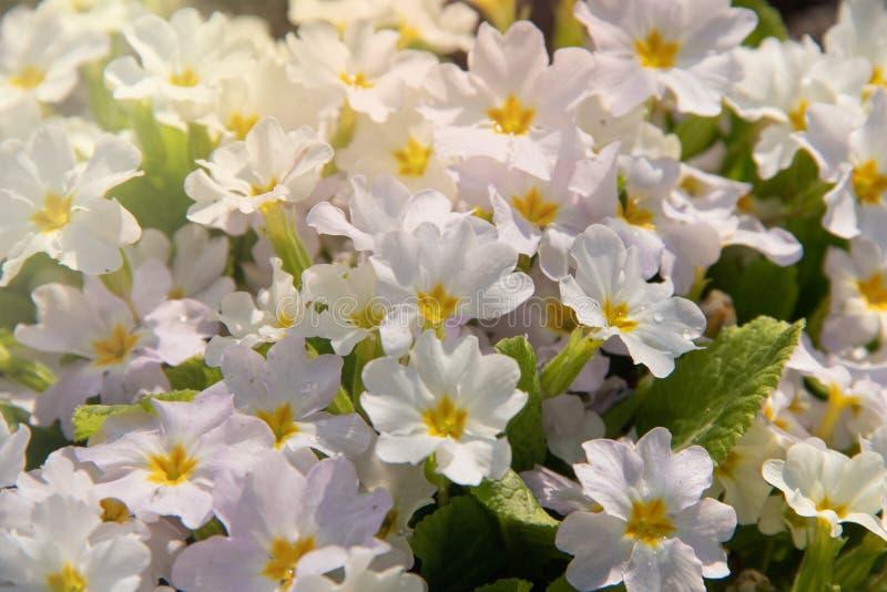 Close-upprimula met gele bloemen onder warme zonstralen royalty-vrije stock foto