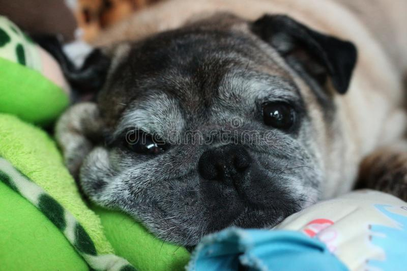 Close-ups, faces and eyes of cute pug dogs are sad. Close-ups faces eyes cute pug dogs sad royalty free stock photo