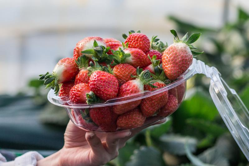 Close-ups van een vrouw die een kom van vers geplukte aardbeien houden stock afbeelding