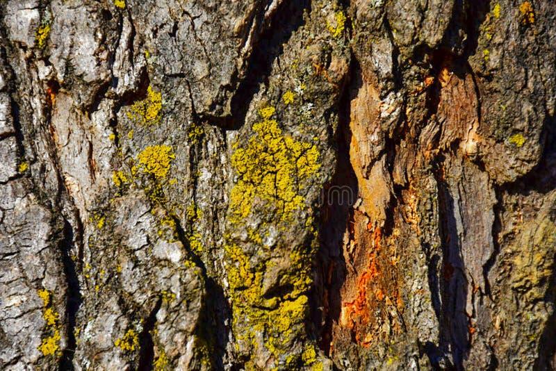 Close-uptextuur van de schors van de Pijnboomboom met oranje teeltweefsel en geelgroen korstmos royalty-vrije stock foto