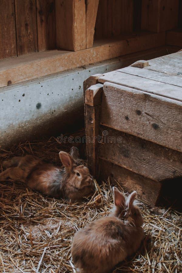 Close-upverticaal van bruine konijnen wordt geschoten die op tarwe in een schuur leggen die stock afbeelding