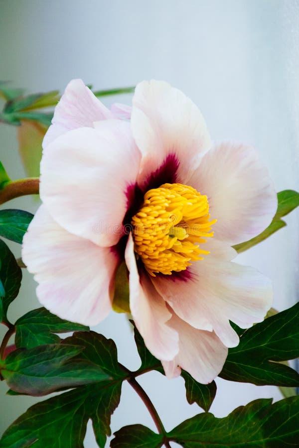 Close-upverticaal van een mooie grote roze bloem in een huis wordt geschoten dat royalty-vrije stock foto