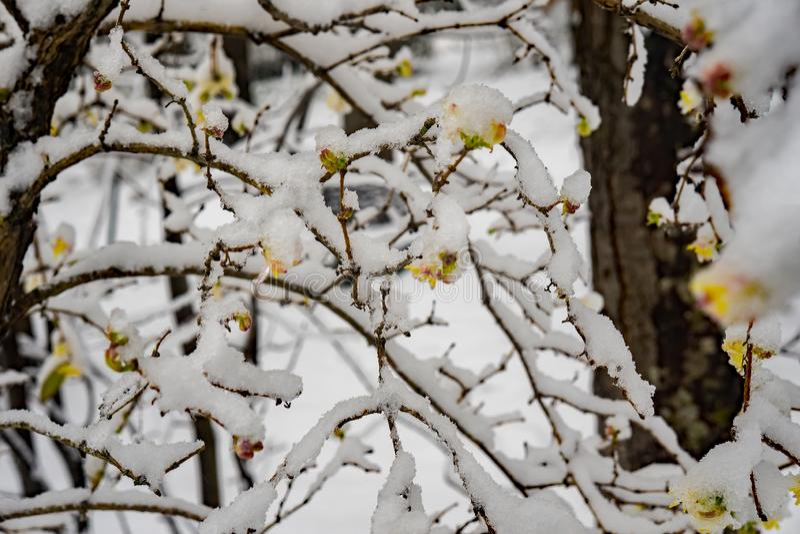 Close-upweergeven van Sneeuw Behandelde Takken - 2 stock afbeelding