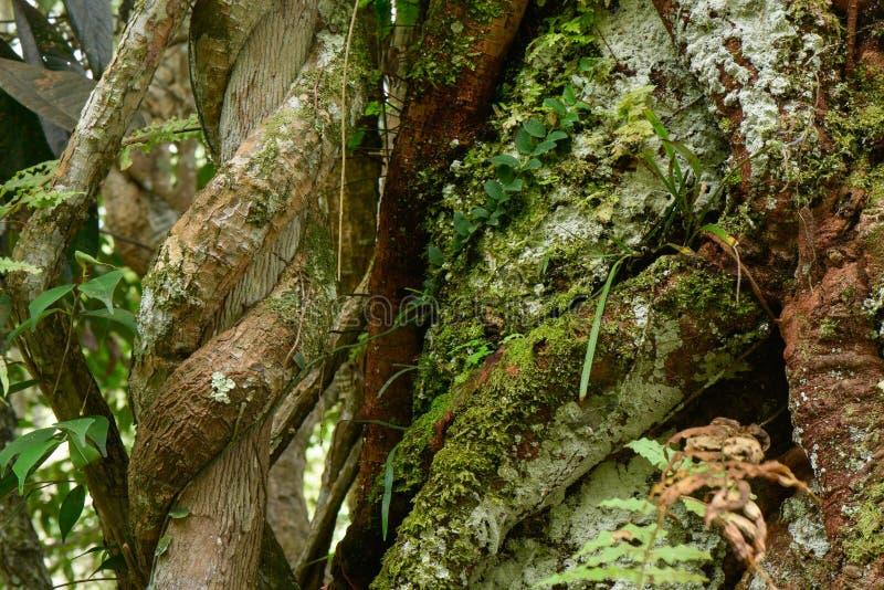 Close-upwijnstok rond boom stock foto's