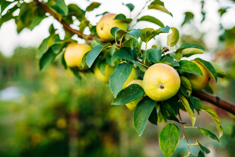 Close View Of Apple Tree Branch, Hung With Yellow Pink Apples. Close View Of The Branch Of Apple Tree, Hung With Yellow And Pink Sappy Apples Fruit Among Green stock images