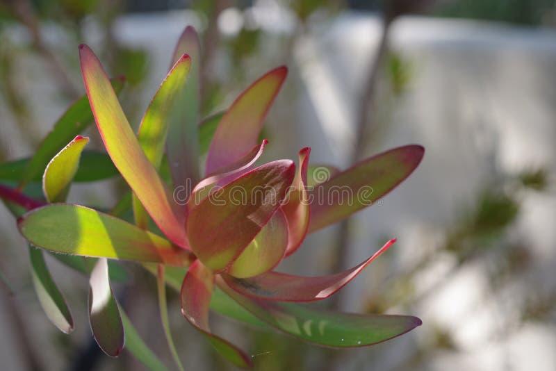 Close view of a beautiful cone bush leucadendron flower stock photo