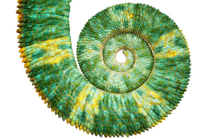 Close view of a beautiful green colorful chamaeleo calyptratus tail revealing the mathematic fibonacci spiral curve stock image