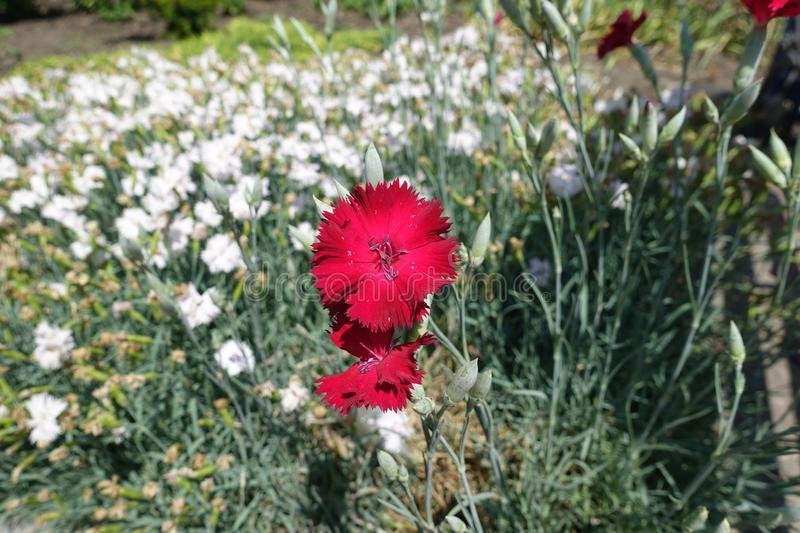 Close view of red flower of Dianthus. Close view of bright red flower of Dianthus stock images