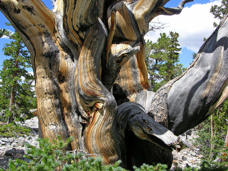 Close view of a Bristlecone Pine tree in the Great Basin National Park, NV. Image shows a close up view of a Bristlecone Pine (Pinus longaeva) trunk growing in royalty free stock photo