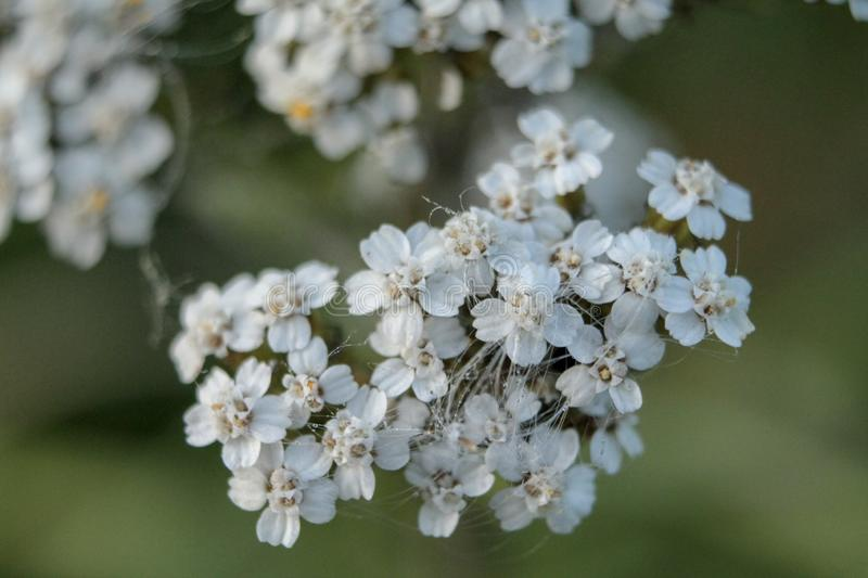 Close view of a bunch of little white flowers royalty free stock photo