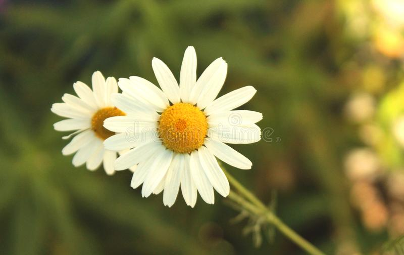 Close view of camomile flower in summer day Macro stock photography
