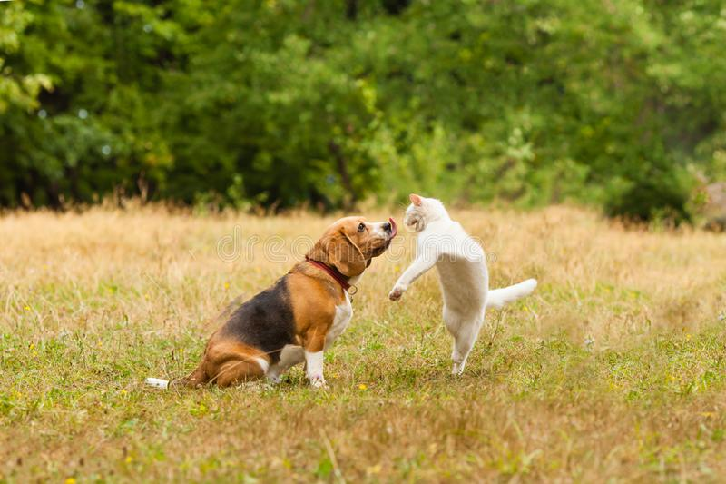 Close view of cat and dog fighting. Close view of adorable Beagle dog fighting with white Turkish Angora cat. Dog`s tongue is out, cat standing on her back paws royalty free stock photo