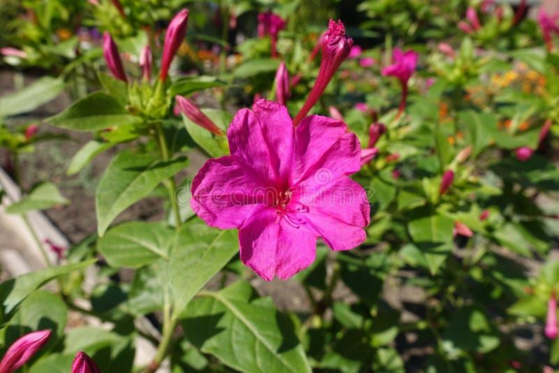 Closeup of deep pink flowers of mirabilis jalapa stock image image download closeup of deep pink flowers of mirabilis jalapa stock image image of flower mightylinksfo