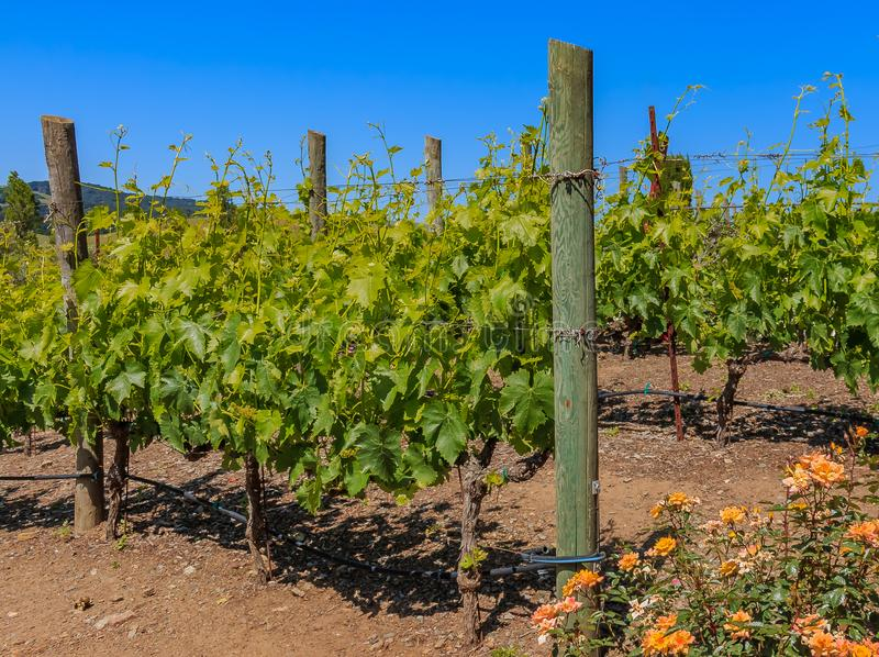 Sonoma Vineyard Stock Image Image Of Grapevine Spring