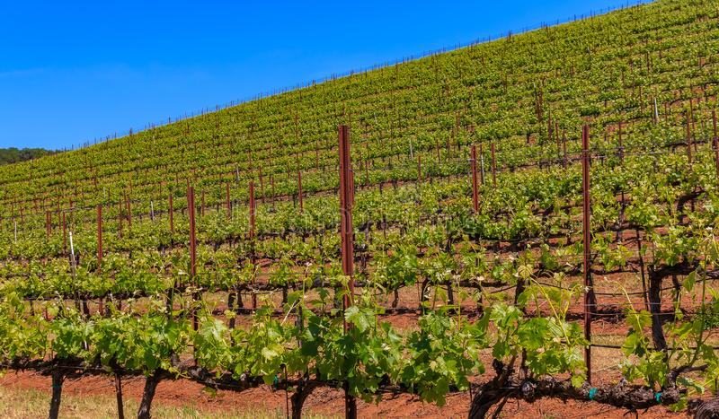 Close view of grape vines at a vineyard in the spring in Sonoma County, California, USA royalty free stock images