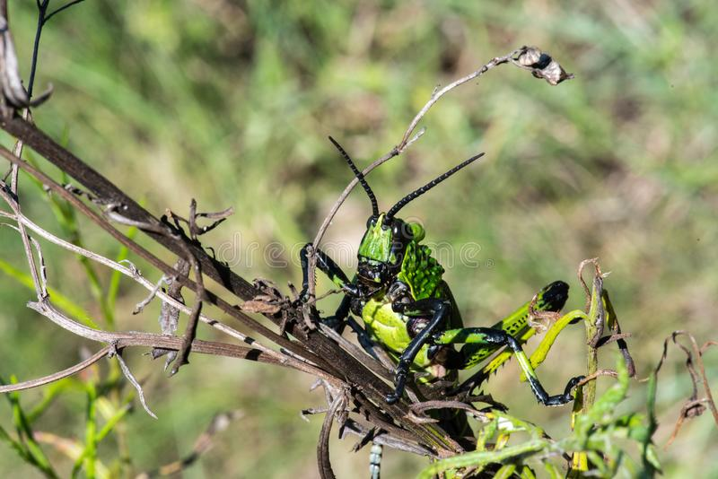 A close view of a Green Milkweed Locust royalty free stock images