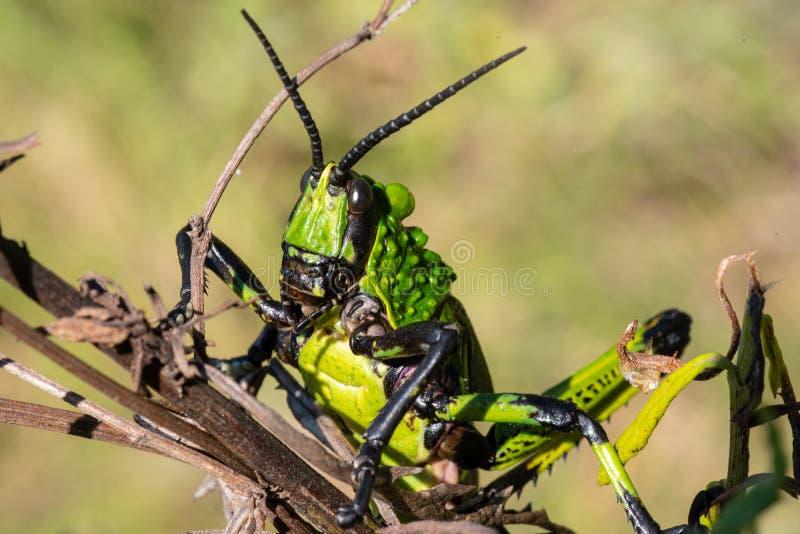A close view of a Green Milkweed Locust stock photos