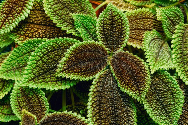 Close View Of Green Pilea Crassifolia In Botanical Garden royalty free stock image