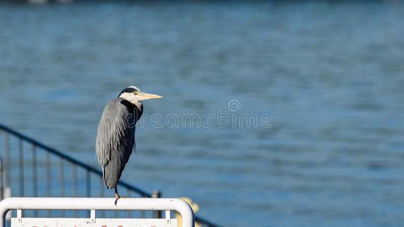 Close view of Grey Heron bird royalty free stock images