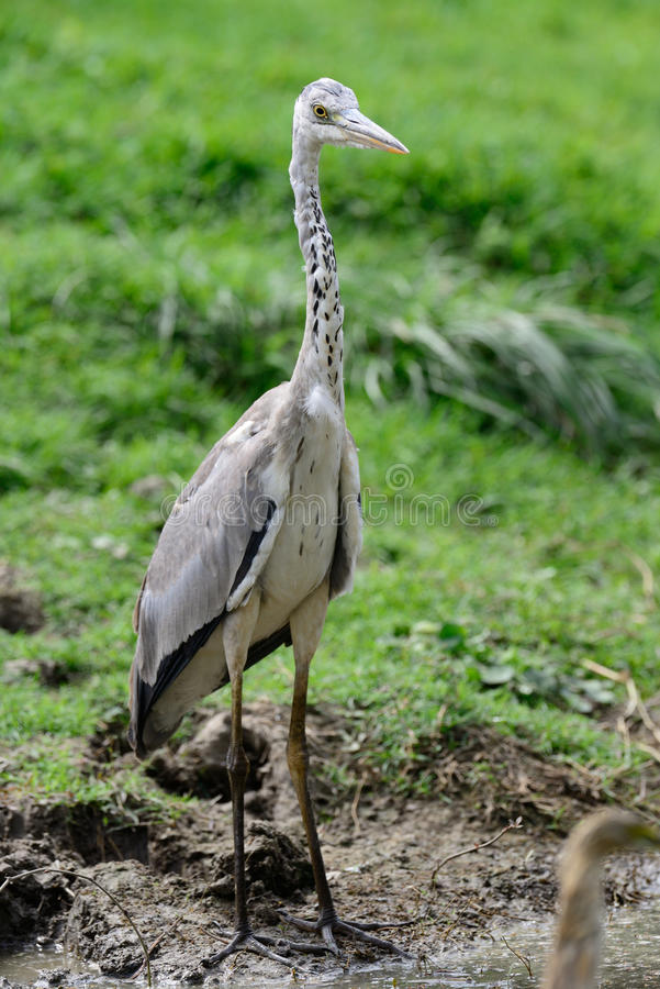 Close view of Grey Heron bird royalty free stock photos