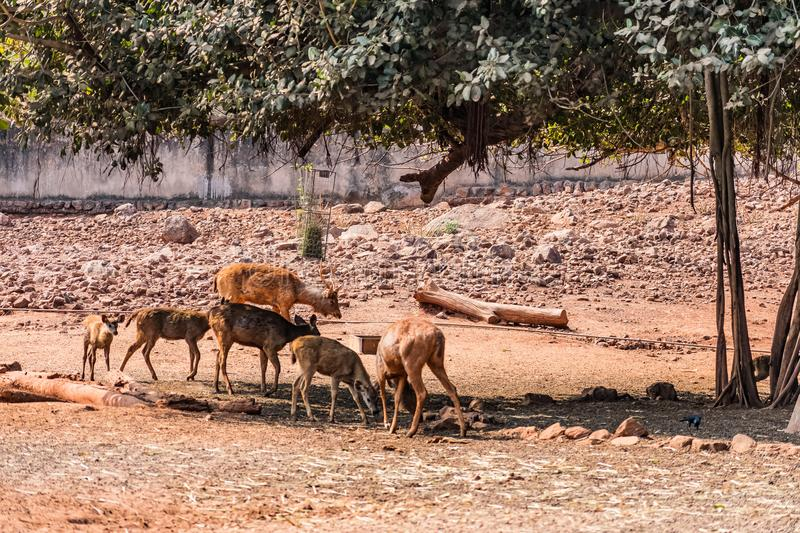 Close view of group of Thamin Deer standing under a tree shadow in a public park. royalty free stock photography