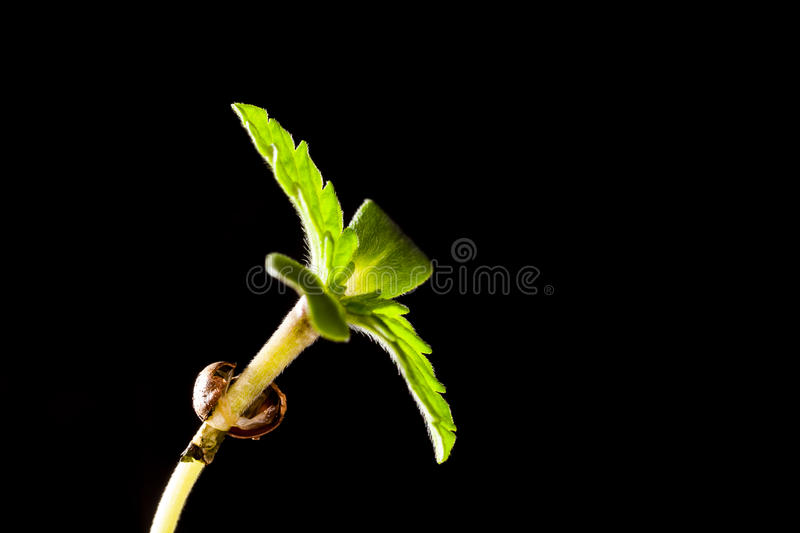 Close view of hemp Sprouts seeds, macro photo royalty free stock image