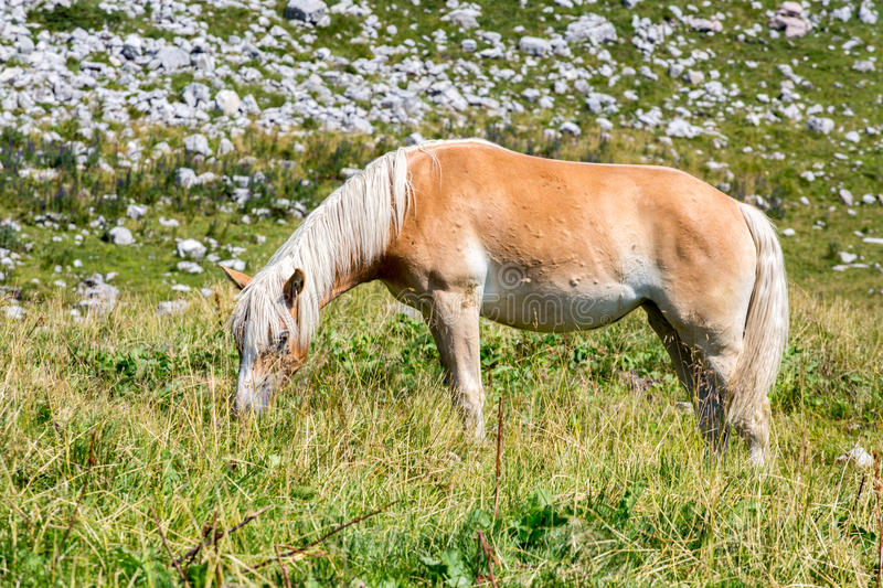 Close view on the horse. In Alps Austria royalty free stock images