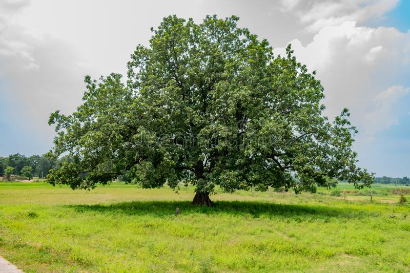 Indian Big mahuwa tree close view in an rural village field. stock images