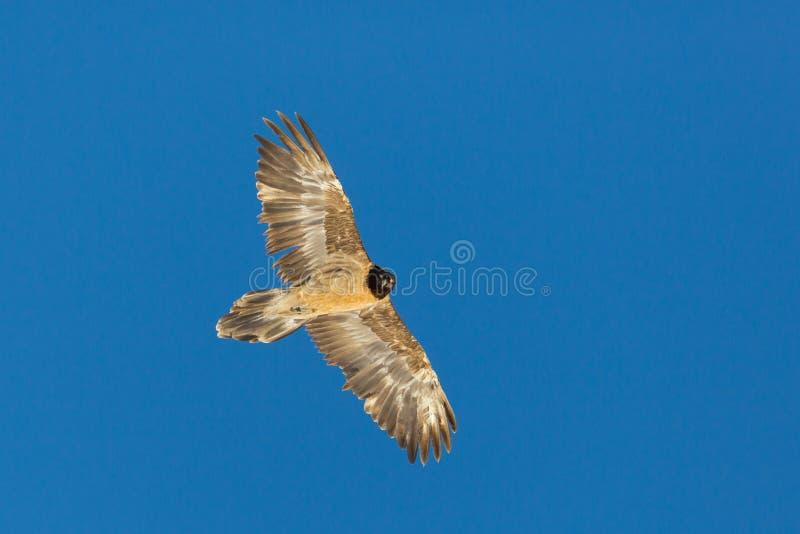 Close view juvenile bearded vulture gypaetus barbatus portrait stock images