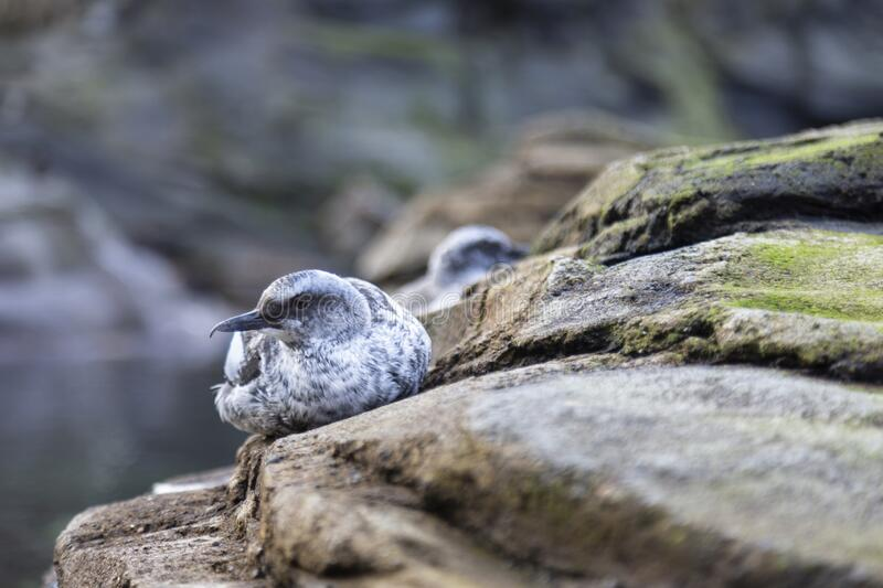 A close view of a Juvenile Pigeon Guillemot Cepphus columba resting on a rock with out of focus background stock image