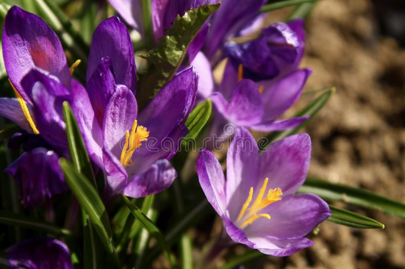 Close view of a little Campanula flower royalty free stock image