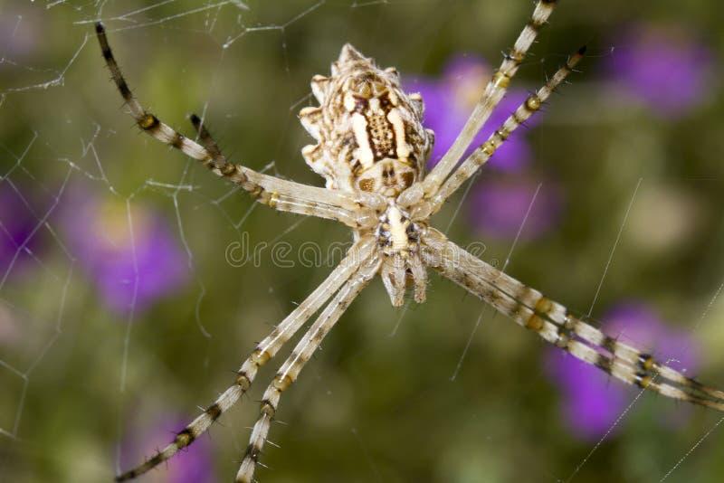 Argiope lobata. Close view of a Lobed Argiope (Argiope lobata) spider stock photography