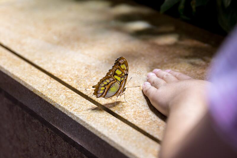 A close view of machaon Papilio machaon butterfly sitting  on a side of a flower garden. With wings closed next to a kid`s hand stock photo