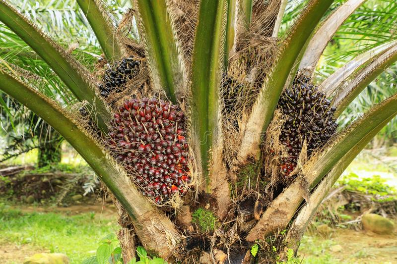 Close view of oil palm tree top with fruit royalty free stock image
