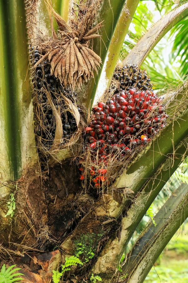 Close view of oil palm tree top with fruit stock photos