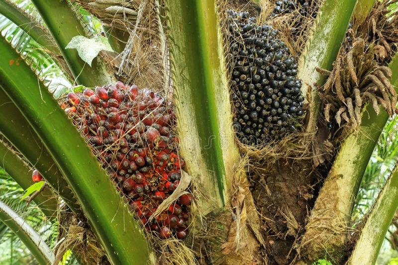 Close view of oil palm tree top with fruit royalty free stock photography
