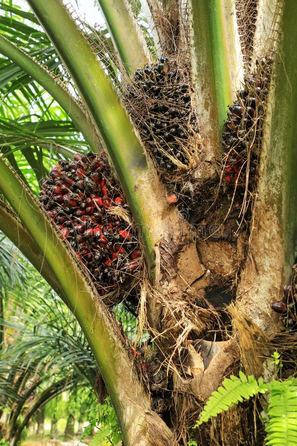 Close view of oil palm tree top with fruit royalty free stock images