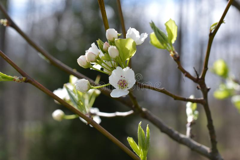 Pear tree blossoms opening. Close view of ornamental pear tree blossoms blooming in the spring in the royalty free stock images
