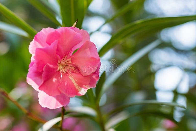Close up pink oleander or Nerium flower in bloom stock image