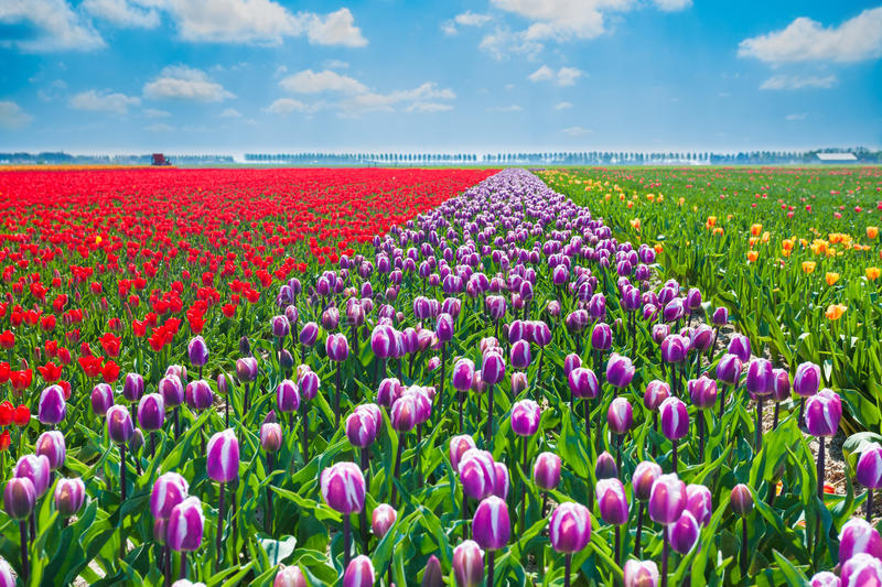 Close view of purple, red and yellow tulips. In summer time during sunny beautiful day in Netherlands, Europe royalty free stock image