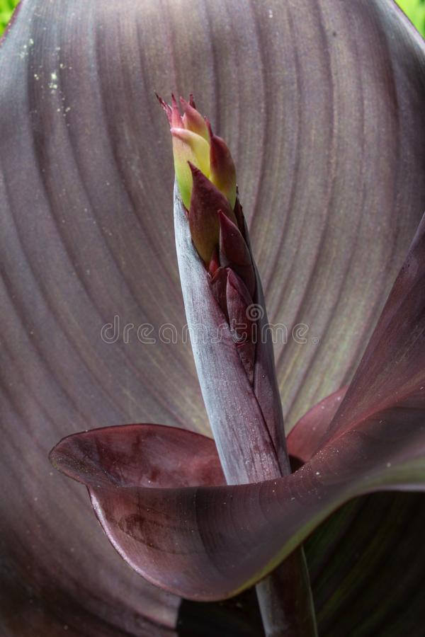 Close view of red cana lily leaves and flower bud stock images