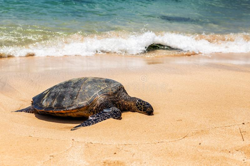 Close view of sea turtle resting on Laniakea beach on a sunny day, Oahu royalty free stock photos