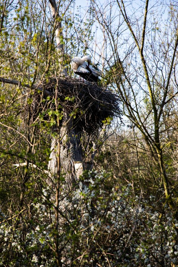 Close view of a Stork cleaning its feathers in its nest royalty free stock image