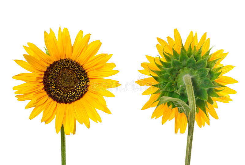 Download Close view of sunflower stock photo. Image of detailed - 35173064