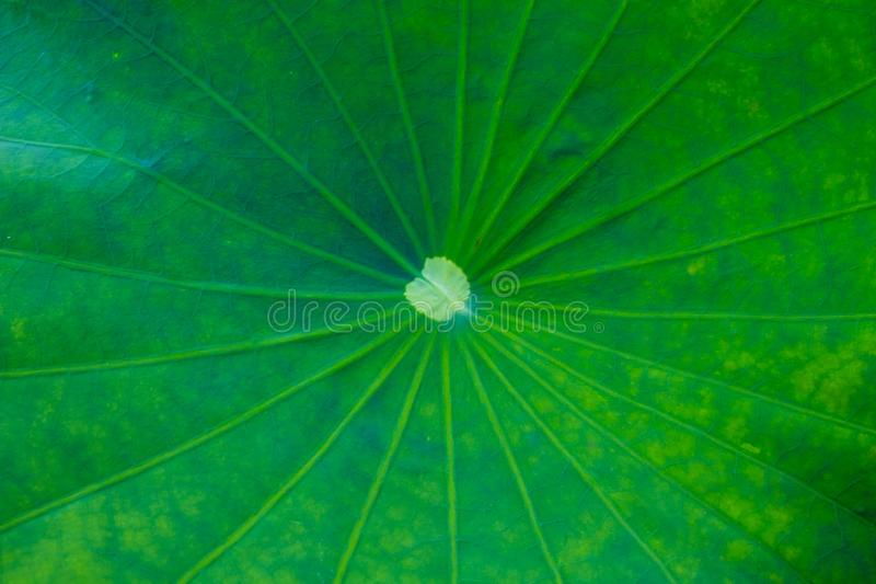 Green lotus leaf background stock image