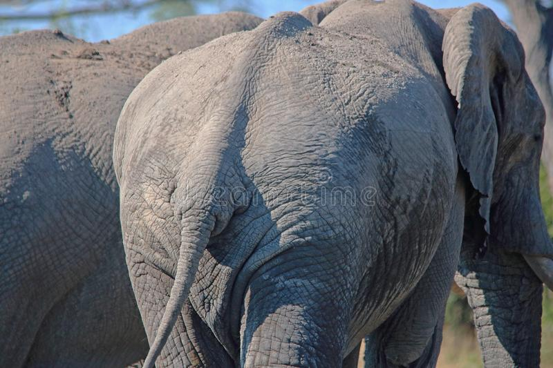 CLOSE VIEW OF WRINKLES ON SKIN ON REAR OF AFRICAN ELEPHANT stock photo