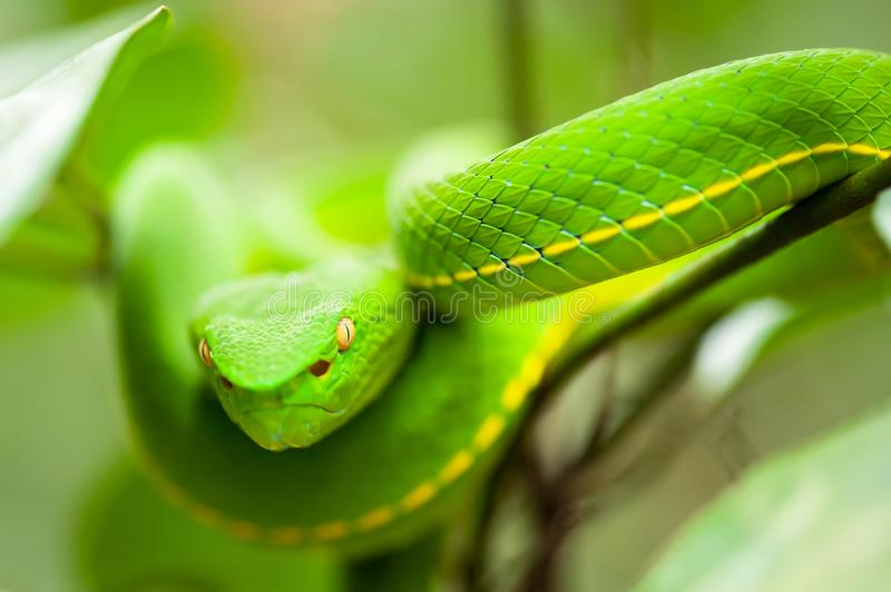 Close, Vogel's Green Pit Viper in the wild tree, breathtaking eyes, colors and skin of Green Pit Viper, Khao Yai National Park, stock photo