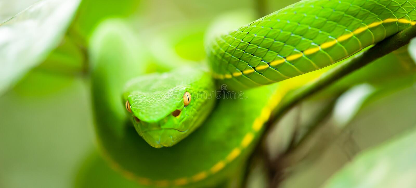 Close, Vogel's Green Pit Viper in the wild tree, breathtaking eyes, colors and skin of Green Pit Viper, Khao Yai National Park, stock images