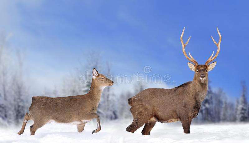 Close young deer in nature. Winter time royalty free stock photos