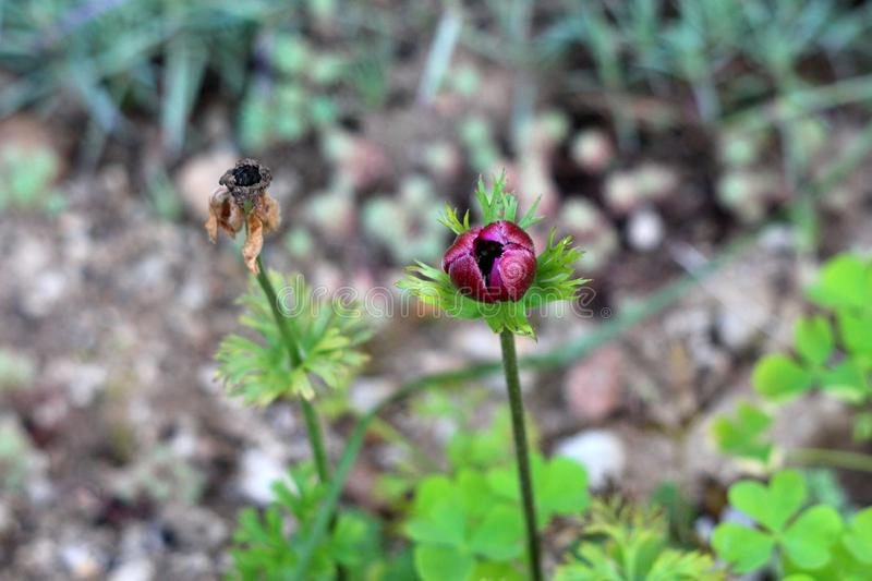 Closed Anemone perennial plant with dark red petals next to dried flower planted in local urban garden surrounded with leaves and. Other plants on warm sunny royalty free stock image